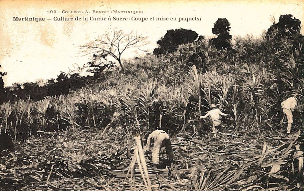 Culture de la canne à sucre - Martinique